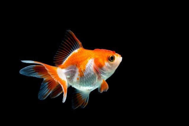 「アートアクアリウム展」運営会社が批判を受けていた金魚の管理についてコメント